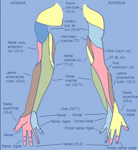 Upper Side Body Diagram http://virtualworldlets.net/Resources/Hosted/Resource.php?Name=NervousStructure-Arm